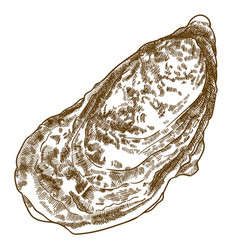 engraving of oyster shell vector image