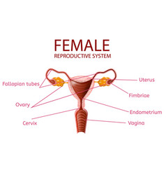 Anatomical banner female reproductive system vector