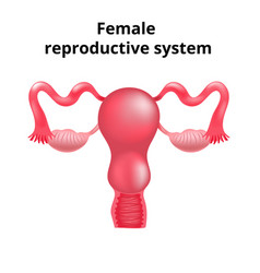 Female reproductive system human vector