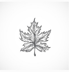 Autumn maple leaf hand drawn vector