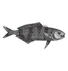 Pilot fish vintage engraving vector image vector image