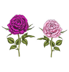 Two hand drawn pink and purple rose flowers vector