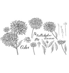 Black and white set with aster flowers objects vector