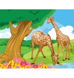 Giraffes at riverbank vector