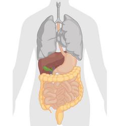 human digestive system internal organs anatomy vector image