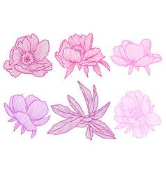 set linear peonies beautiful decorative summer vector image