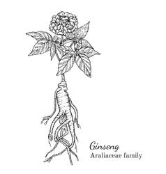 Ink ginseng hand drawn sketch vector image