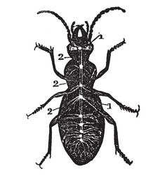 Diagram of nervous system of a beetle vintage vector