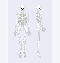 skeletal system human body vector image