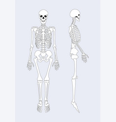 skeletal system of human body vector image