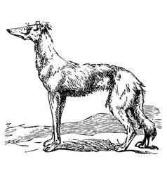 saluki or borzoi dog engraving vector image vector image