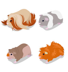guinea pig breeds set with peruvian american vector image
