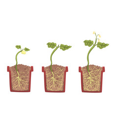Stages sprout growth in a clay pot with soil vector