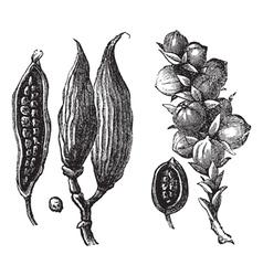 cardamom vintage engraving vector image vector image