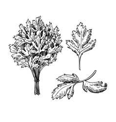 Parsley hand drawn set vector image