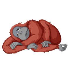 Sad chimpanzee on white background vector