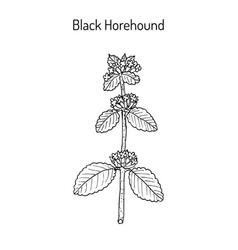 black horehound ballota nigra medicinal plant vector image