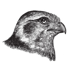 Prairie falcon head vintage vector