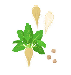 Sugar beet with green foliage seeds and sliced vector