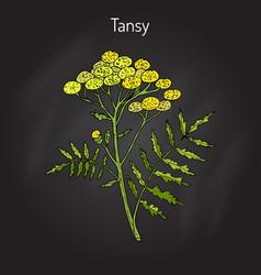 Tansy tanacetum vulgare or common tansy vector