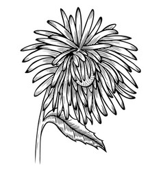 Black and white aster flower vector