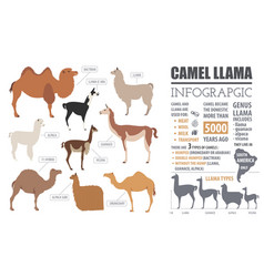 Camel llama guanaco alpaca breeds infographic vector