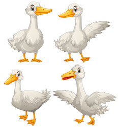 duck in four different actions vector image
