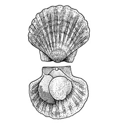 Scallop drawing engraving ink lin vector
