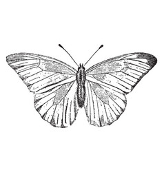 white butterfly vintage vector image