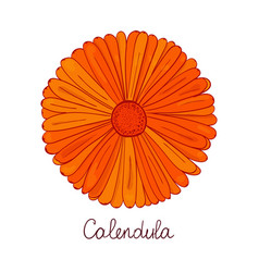 bud of marigold orange flower of calendula vector image