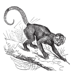 Cebus Capucinus vintage engraving vector image