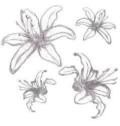 Hand drawn lilium flowers vector