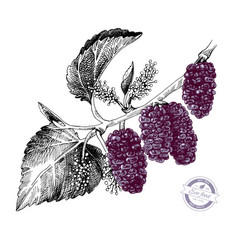 hand drawn mulberry branch vector image