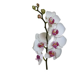 Photorealistic of phalaenopsis a branch of white vector