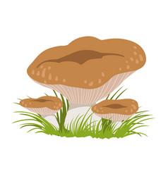 rufous milkcap or lactarius rufus edible forest vector image
