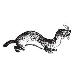 Weasel vintage vector