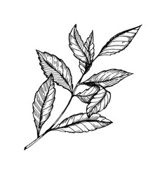 branch of tea plant engraving style vector image vector image