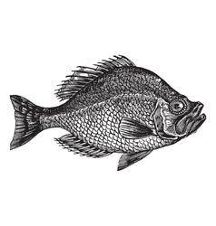 rock bass vintage engraving vector image vector image