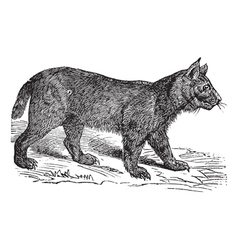 Lynx vintage engraving vector image