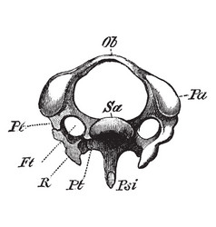 The diagram of a third cervical vertebra of a vector