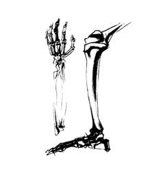 Academic drawing bones leg and hand of the human vector