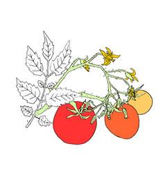Tomato bush parts vector