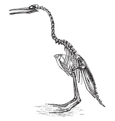 The restoration of the hesperornis regalis vector