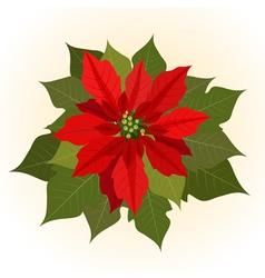 poinsettia flowers for christmas vector image
