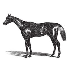 Thoroughbred vintage engraving vector