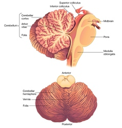 Anatomy of the Human Cerebellum vector image