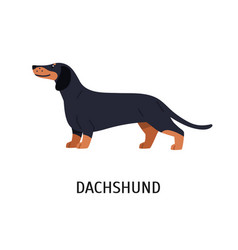 Dachshund adorable hunting dog or scenthound with vector
