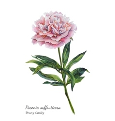 Watercolor botanical of pink peony vector