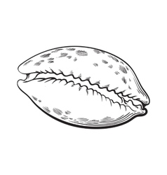cowrie or cowry sea shell sketch style vector image