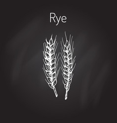 hand draw rye ears sketch vector image